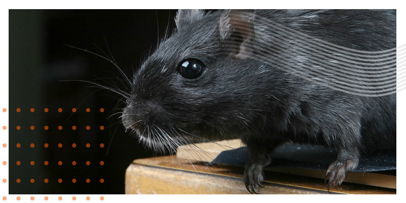 Pest-inspections-moving-house-rats